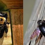 painting wood carpenter bees
