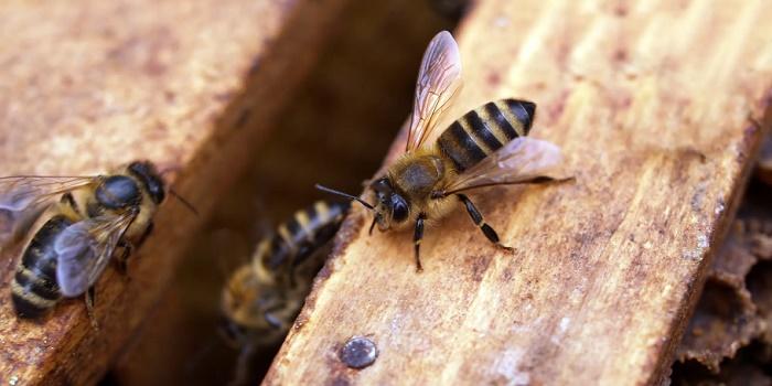carpenter bees paint deterrent